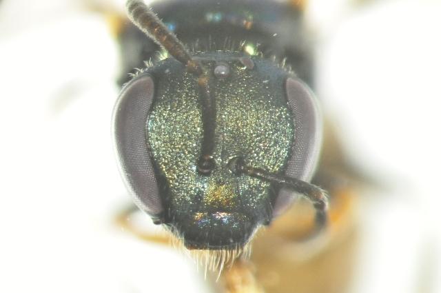 Image of <i>Lasioglossum apocyni</i> (Mitchell 1960)