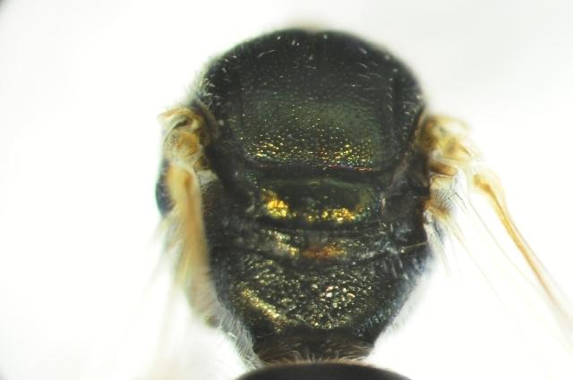 Image of <i>Lasioglossum</i>