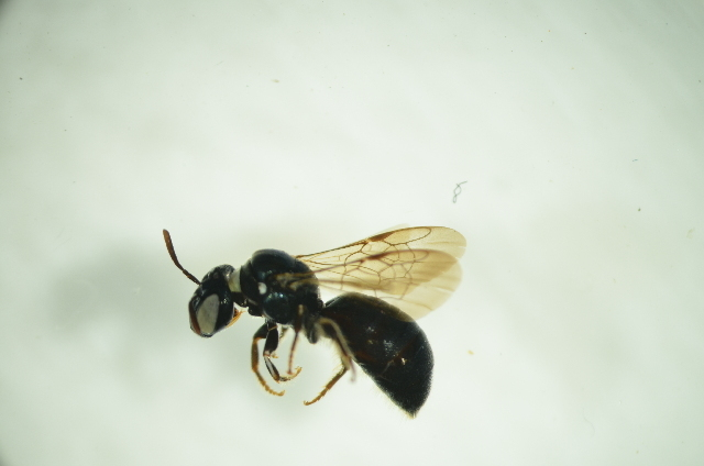 Image of <i>Ceratina australensis</i> (Perkins 1912)