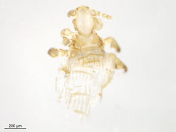 Image of spiny rat lice