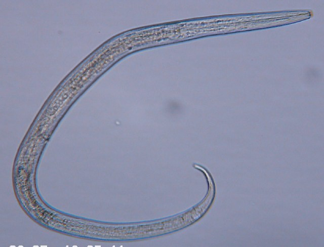 Image of Chromadorida