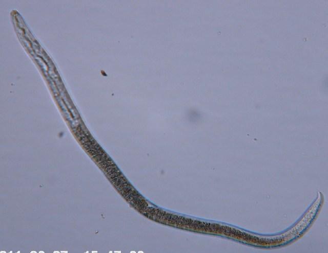Image of Panagrolaimidae