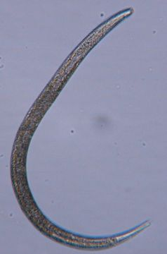 Image of Halomonhystera