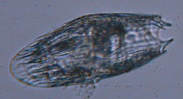 Image of Notholca