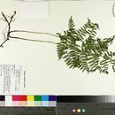 Image of eastern hayscented fern