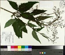 Image of lanceleaf figwort