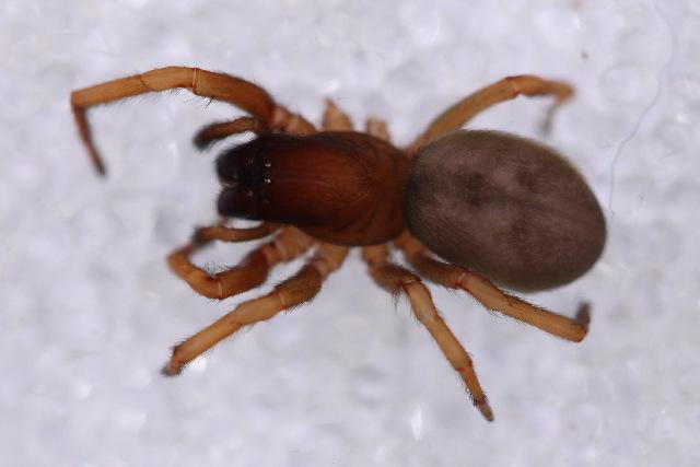 Image of Goeldia