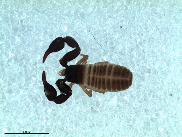 539.mulad ase 168 habitus dorsal mm parachernes sp 1447779538 jpg