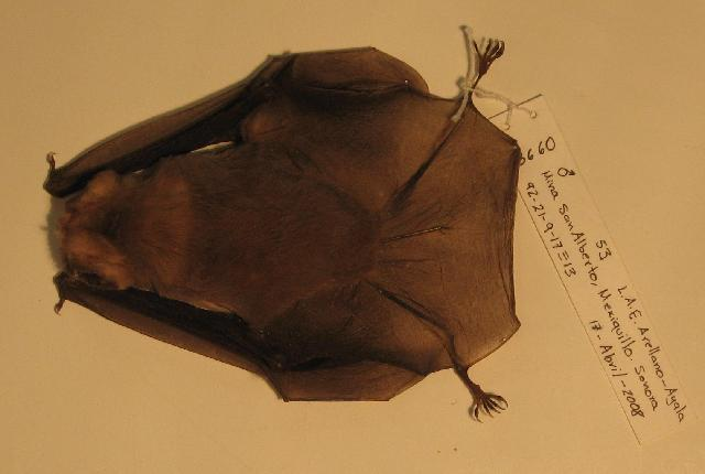 Image of ghost-faced bats