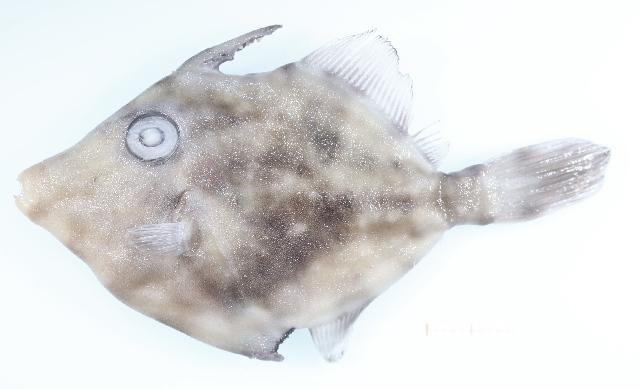 Image of Monacanthus