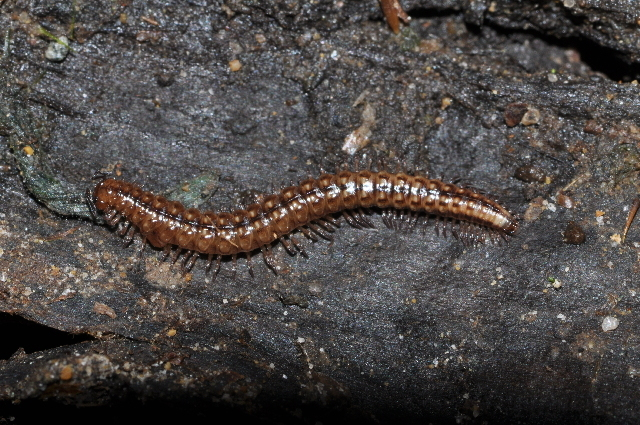 Image of <i>Craspedosoma taurinorum</i>