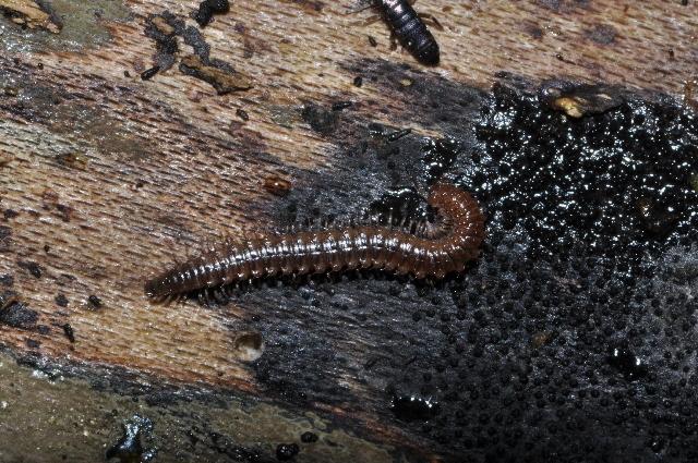 Image of <i>Listrocheiritium noricum</i>