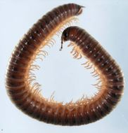 Image of Leptoiulus