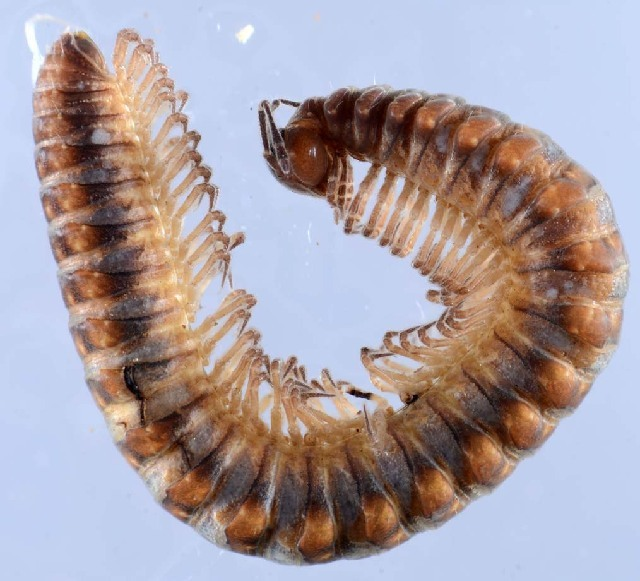 Image of Craspedosomatinae