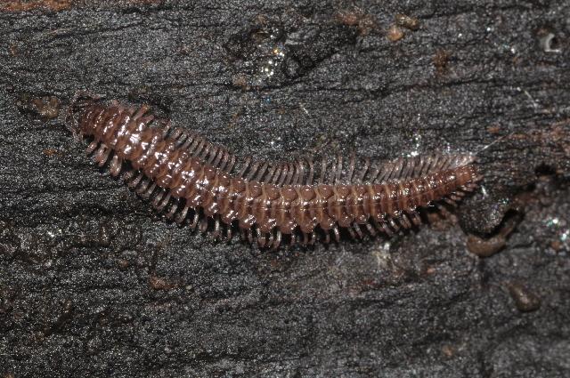 Image of <i>Rhymogona serrata</i> (Bigler 1912)