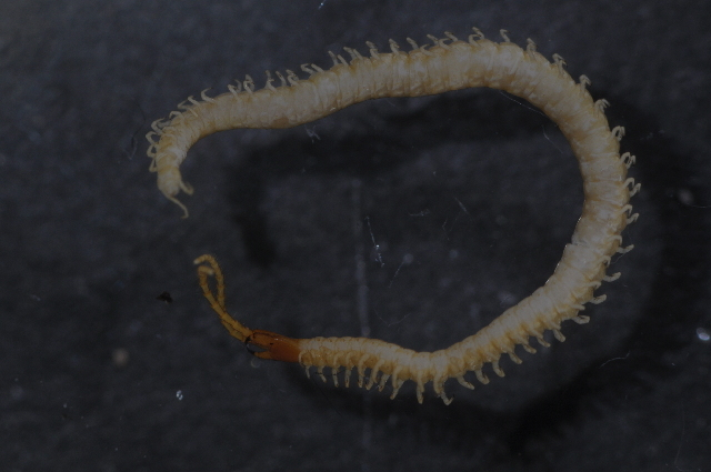 Image of boreal yellow-headed soil centipede