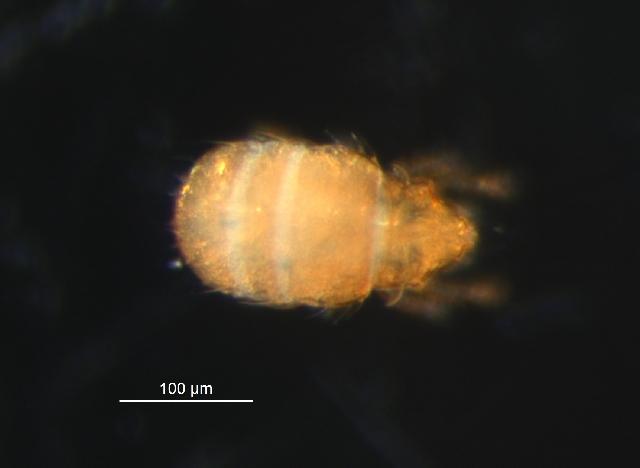 Image of Brachychthoniidae