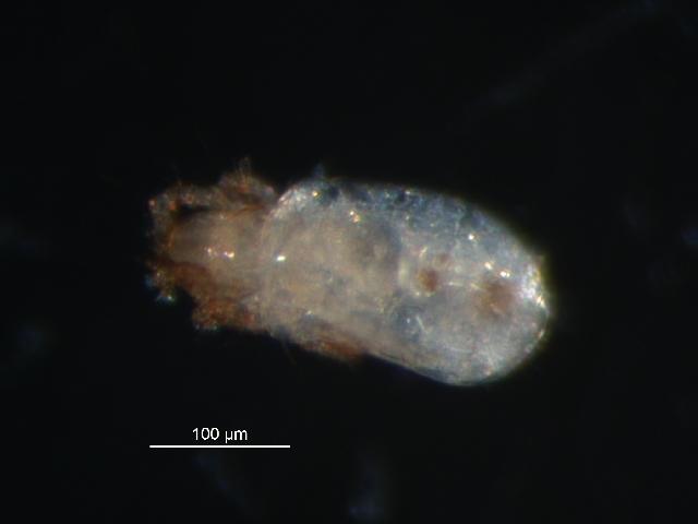 Image of <i><i>Scheloribates</i></i> (Scheloribates) <i>pallidulus</i> (Koch 1841)