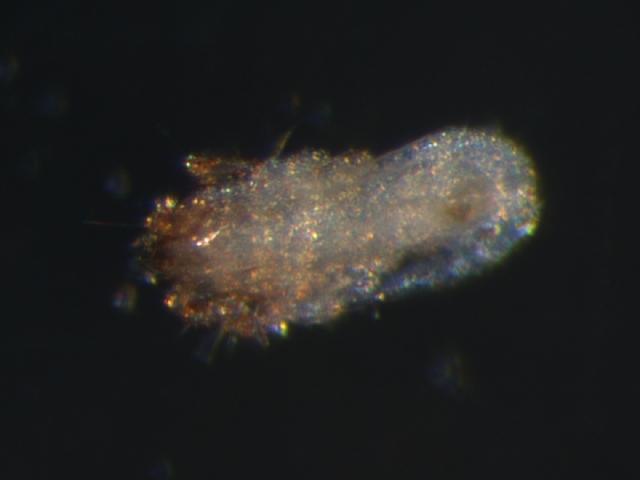 Image of Scheloribates