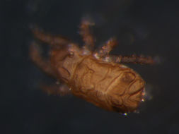 Image of <i>Hermannia</i> (<i>Heterohermannia</i>) <i>reticulata</i> Thörell 1871