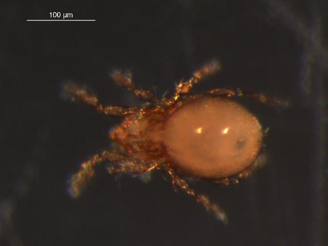 Image of Suctobelbidae