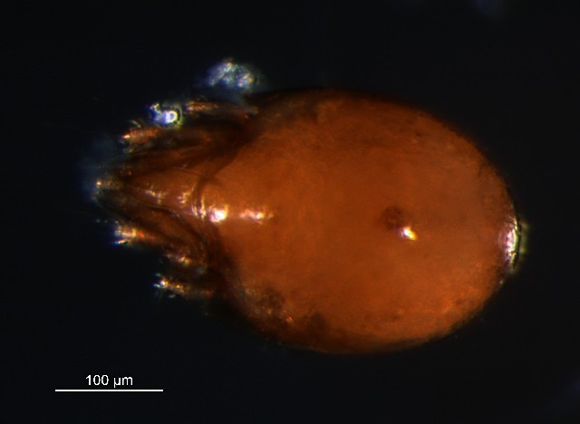 Image of <i>Ceratozetes thienemanni</i>