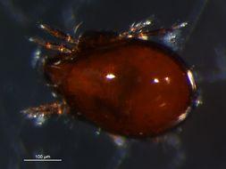 Image of <i>Tegoribates americanus</i> Hammer 1958