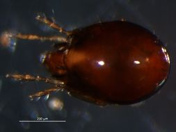 Image of <i>Iugoribates gracilis</i> Sellnick 1944