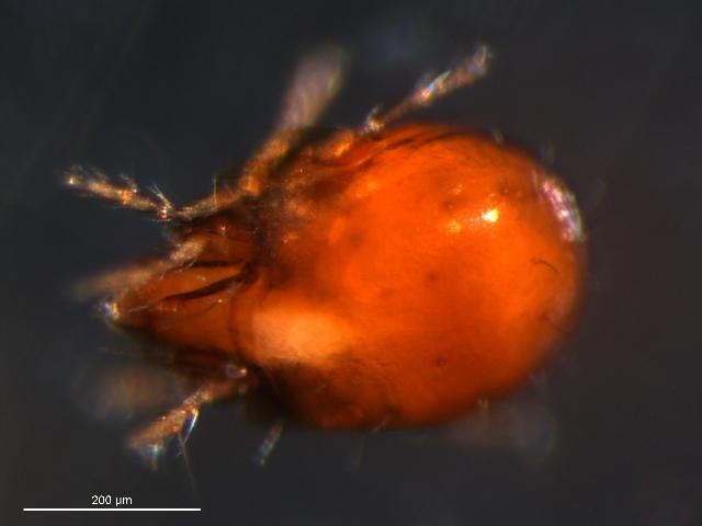 Image of <i>Diapterobates variabilis</i> Hammer 1955