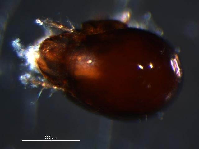 Image of <i>Scutozetes lanceolatus</i> Hammer 1952