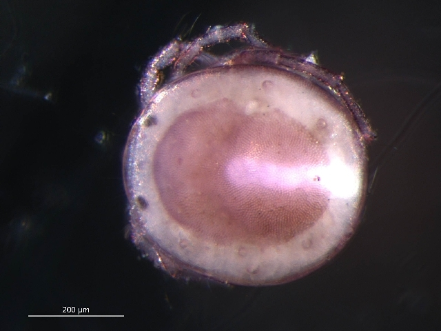 Image of Paenecalyptonotus Smith 1976