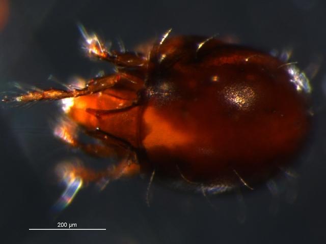 Image of <i>Ghilarovizetes longisetosus</i> (Hammer 1952)