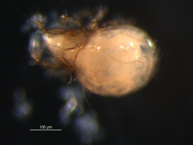 Image of <i>Banksinoma spinifera</i> (Hammer 1952)