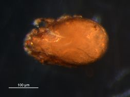 Image of <i>Tectocepheus velatus</i> (Michael 1880)