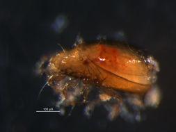 Image of <i>Liebstadia similis</i> (Michael 1888)