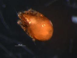 Image of <i><i>Neogymnobates</i></i> (Neogymnobates) <i>luteus</i> (Hammer 1955)
