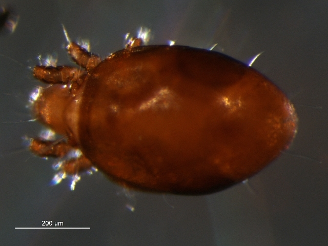 Image of Trhypochthoniidae