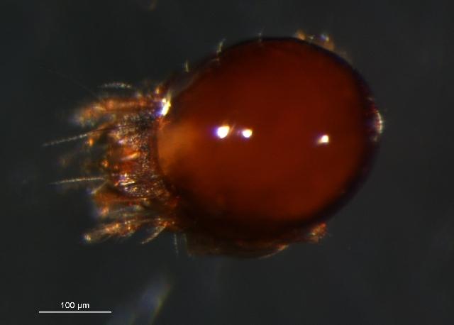 Image of Oribatella