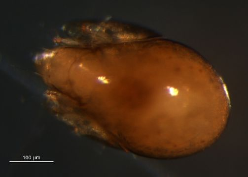 Image of Parakalummidae
