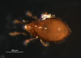 Image of <i>Dissorhina ornata</i> (Oudemans 1900)