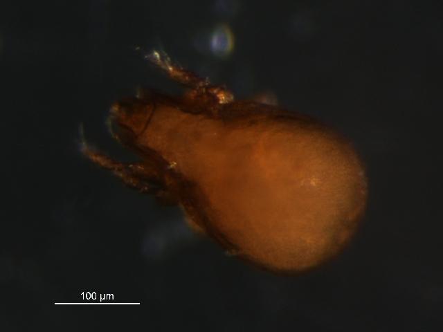 Image of <i>Tectocepheus <i>velatus</i></i> velatus (Michael 1880)