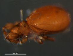 Image of <i>Eueremaeus quadrilamellatus</i> (Hammer 1952)