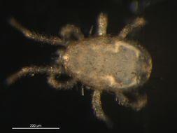 Image of Ameroseiidae