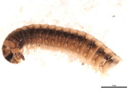 Image of <i>Brachyiulus pusillus</i> (Bosc 1792)