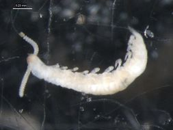 Image of Scolopendrellidae