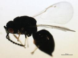 Image of <i>Eurytoma longavena</i> Bugbee 1951