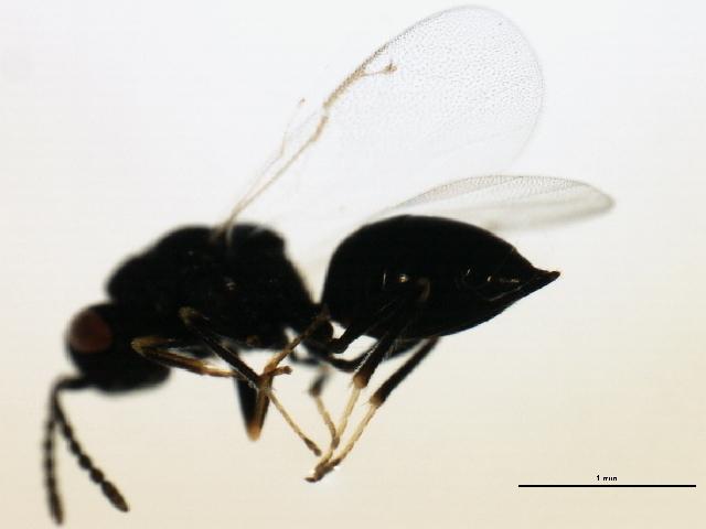 Image of Eurytoma