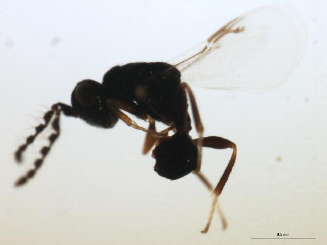 Image of <i>Eurytoma iniquus</i> Bugbee 1951