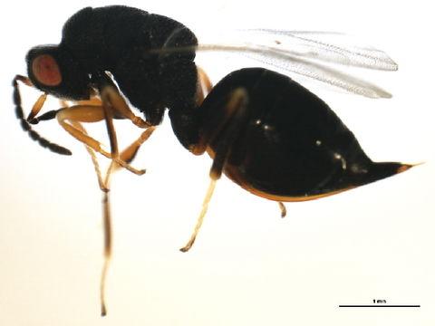 Слика од <i>Eurytoma discordans</i> Bugbee 1951