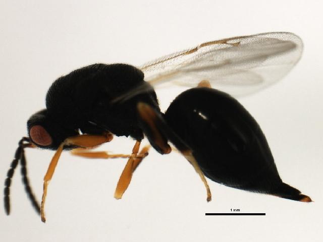 Image of <i>Eurytoma acuta</i> Bugbee 1951